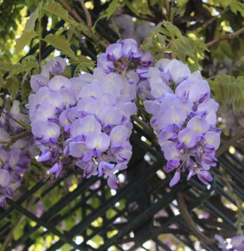 Rankhilfe_Blüten